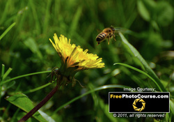 Cool high-res picture of a honey bee in flight. Find more cool pictures and wallpapers at FreePhotoCourse.com. © 2011, all rights reserved.