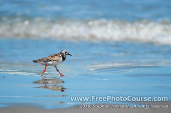 Ruddy Turnstone - Shorebird - and Reflection on Beach,  © 2010, Stephen J. Kristof, www.FreePhotoCourse.com, all rights reserved