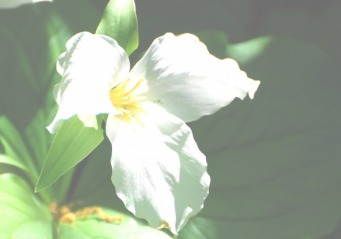 trillium - f-1.8 overexposed - © 2010, FreePhotoCourse.com, all rights reserved