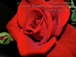 Picture of a Red Rose, © 2010, FreePhotoCourse.com  -  free digital pictures, computer desktop backgrounds, free online photography tips