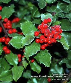 Picture of Christmas holly with berries - vertical for cell phone wallpaper;  © 2010, www.FreePhotoCourse.com, all rights reserved