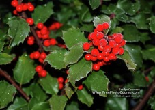 Picture of Christmas holly with berries; horizontal for desktop wallpaper; ©2010, www.FreePhotoCourse.com, all rights reserved.