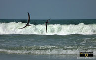 Picture of black skimmer birds flying along the ocean shoreline. © 2011, FreePhotoCourse.com, all rights reserved.  Awesome beach pictures & wallpapers. Download free jpg, jpeg photos.