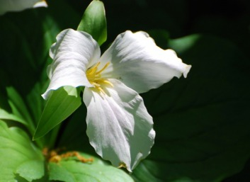 Trillium - f-8 exposure - © 2010, FreePhotoCourse.com, all rights reserved
