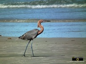 High res picture of a blue heron walking along the Atlantic ocean shoreline. © 2011, FreePhotoCourse.com, all rights reserved.  Awesome beach pictures & wallpapers. Download free jpg, jpeg photos.