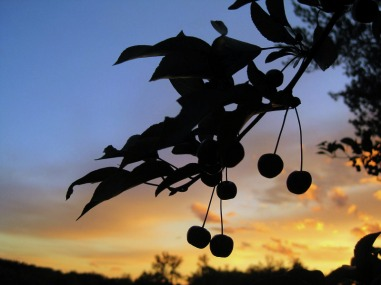 Picture of Crab Apples, Silhouetted against Minnesota Sunset.  Visit www.FreePhotoCourse.com if you love photography!