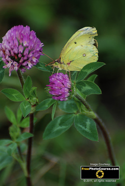 Picture of a yellow butterfly on a sweet clover flower. Find more cool pictures and wallpapers at FreePhotoCourse.com. © 2011, all rights reserved.