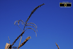 Picture of a corn tassle against a blue sky. Find more cool pictures and wallpapers at FreePhotoCourse.com. © 2011, all rights reserved.