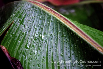 Abstract, Raindrops, Rhythm, Banana Leaf - Photography Tips and Lessons - © 2010, Stephen J. Kristof, www.FreePhotoCourse.com, all rights reserved