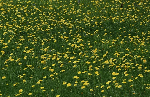 Picture of Field of Dandelions in Braunwald, Switzerland.  Photo Credit: Joan McCormack.  Submit your photos to FreePhotoCourse.com's 'Contributor's Photo Gallery' and show-off your photographic talent to the world!