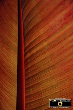 Abstract picture of an Abyssinian Banana Leaf. Find more cool pictures and wallpapers at FreePhotoCourse.com. © 2011, all rights reserved.