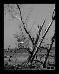 Black & White picture of dead trees at the ocean's edge. Download free pictures and wallpapers.  © 2011, FreePhotoCourse.com, all rights reserved.