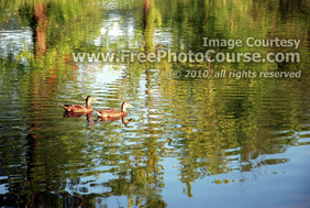 Picture of Ducks on Pond, © 2010, FreePhotoCourse.com  -  free digital pictures, computer desktop backgrounds, free online photography tips