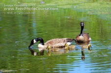 Picture of Mallard Ducks on Pond;  (c) 2009, FreePhotoCourse.com, all rights reserved