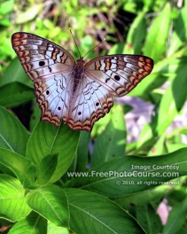 Picture of a Flordia 'White Peacock' Butterfly;© 2010, all rights reserved.  Check out more Free Wallpapers and Pictures at: www.FreePhotoCourse.com
