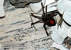Picture of a black widow spider; red hourglass seen clearly on underside.  This and more cool free pictures available at http://www.FreePhotoCourse.com.© 2011, FreePhotoCourse.com; all rights reserved.