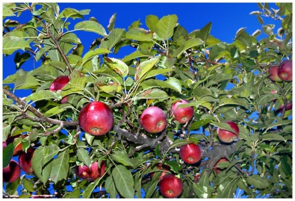 © 2010, FreePhotoCourse.com, all rights reserved.  Depiction: ripe apples growing on the tree in early autumn