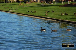 Picture of Canada Geese on a Pond. Find more cool pictures and wallpapers at FreePhotoCourse.com. © 2011, all rights reserved.