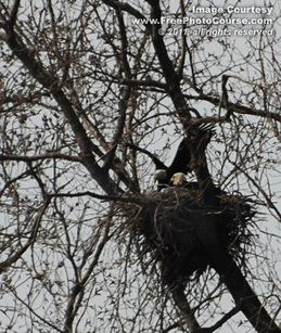 Picture of two bald eagles nesting in nature.  Picture courtesy http://www.FreePhotoCourse.com. © 2011, FreePhotoCourse.com, all rights reserved