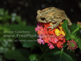 Picture of American Toad  Perched on Lantana Flower; © 2010, all rights reserved, FreePhotoCourse.com