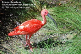 Picture of a scarlet ibis in the wild.  This and more amazing animal pictures and wallpapers for free at www.FreePhotoCourse.com. © 2011, FreePhotoCourse.com; all rights reserved.
