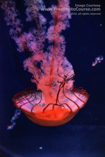 Lion's Mane Jellyfish swimming upside down. 'Cyanea Capillata';  © 2010, all rights reserved, www.FreePhotoCourse.com