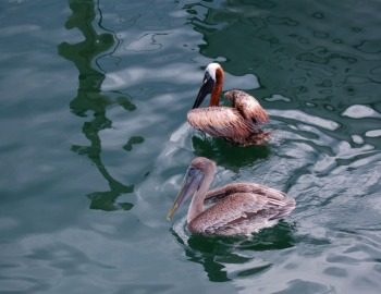 © 2010, FreePhotoCourse.com, all rights reserved.  Pelicans at marina - example of photographic simplicity and good composition.
