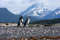 Picture of a Magellanic Penguin in Ushuaia, Argentina.  Honorable Mention featured in FreePhotoCourse.com