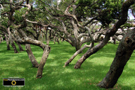 Picture of curly live oaks in a pasture. Download free pictures and wallpapers.  © 2011, FreePhotoCourse.com, all rights reserved.