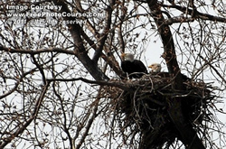 Picture of two Bald Eagles watching over eggs in large nest; free pictures from FreePhotoCourse.com. © 2011, FreePhotoCourse.com, all rights reserved