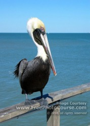 Picture of a brown pelican, central coastal Florida; © 2010, all rights reserved.  Check out more Free Wallpapers and Pictures at: www.FreePhotoCourse.com