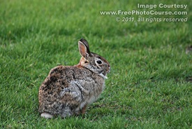 Picture of a common rabbit in a field.  Free pictures and wallpapers, courtesy of www.FreePhotoCourse.com. © 2011, FreePhotoCourse.com, all rights reserved