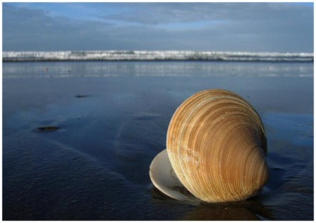 Picture of an open clam shell on Woodend Beach in New Zealand.  FreePhotoCourse.com publishes winning pictures sent-in by its visitors.