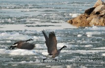 Picture of Canada Geese taking off  from icy water; © 2010, all rights reserved, FreePhotoCourse.com