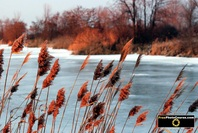 Winter nature scene - reeds and pampas grass at edge of frozen pond. Find more cool pictures and wallpapers at FreePhotoCourse.com. © 2011, all rights reserved.