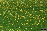 Picture of a field of dandelions. Find more cool pictures and wallpapers at FreePhotoCourse.com. © 2011, all rights reserved.