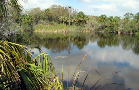 Merritt Island National Wildlife Refuge.  Picture of reflecting pond, palm trees, swampy area.