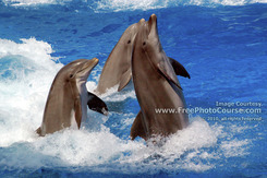 Picture of 3 Playful Dolphins standing and swimming backward. (c) 2006, FreePhotoCourse.com, all rights reserved