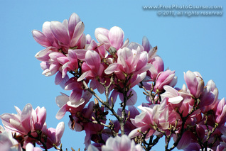 © 2011, www.FreePhotoCourse.com; picture of maganolia flowers against a blue sky; example of photography without polarizing filter.  All rights reserved.  Photo Credit: Stephen Kristof.