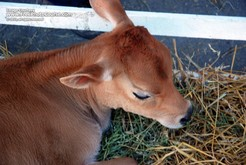 Picture of a Jersey Calf; © 2010, all rights reserved, FreePhotoCourse.com