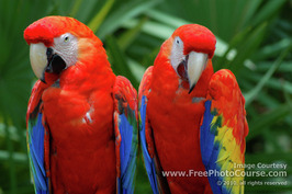Pair of Macaw Parrots;  © 2010, all rights reserved.  Check out more Free Wallpapers and Pictures at: www.FreePhotoCourse.com