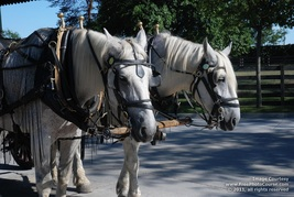 Picture of horses in bridles, about to pull wagon.  Superb high-res pictures and wallpapers for free at FreePhotoCourse.com. © 2011, FreePhotoCourse.com; all rights reserved.