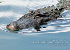 Picture of an American Alligator with a Red Dragonfly Hitching a Ride on its Head;  © 2010, all rights reserved.  www.FreePhotoCourse.com