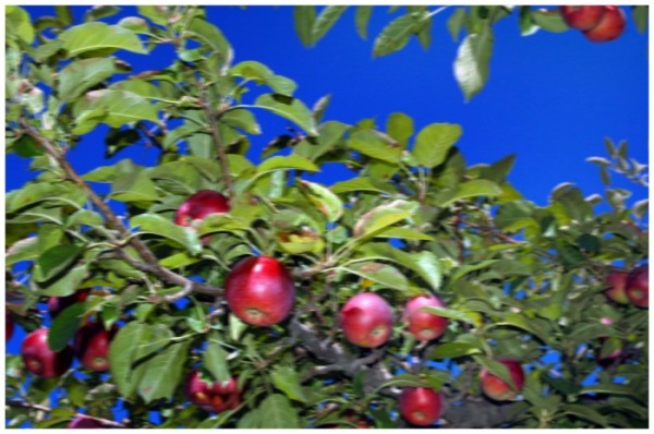 blurry picture of apples on an apple tree.  Used to illustrate how shaky camera use can blur your pictures.   FreePhotoCourse.com, all rights reserved.