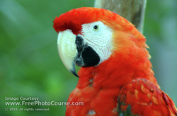 Close-up Bird Picture; Red Macaw Parrot; © 2010, all rights reserved.  Check out more Free Wallpapers and Pictures at: www.FreePhotoCourse.com