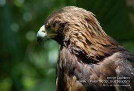 Picture of a Golden Eagle;  (c) FreePhotoCourse.com, 2008; all rights reserved