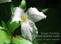 Trillium Flower, © 2010, FreePhotoCourse.com  -  free digital pictures, computer desktop backgrounds, free online photography tips
