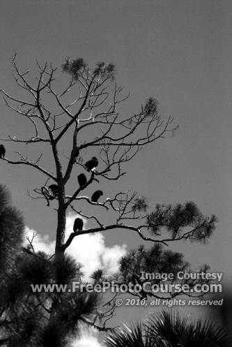 Vultures Perched in Dead Tree, Brevard County, Florida -© 2010, FreePhotoCourse.com  -  free digital pictures, computer desktop backgrounds, free online photography tips