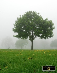 Picture of a foggy morning in the pasture - trees and grass dotted with dandelions. Download free pictures and wallpapers.  © 2011, FreePhotoCourse.com, all rights reserved.