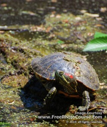 Picture of a Painted Turtle;  (c) FreePhotoCourse.com, all rights reserved